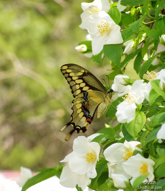 Butterfly and dogwood blooms in northwest Travis County, Texas