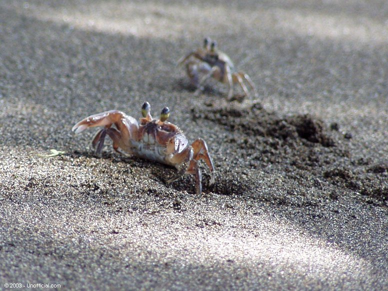 Buster the Crab at Olowalu Beach, Maui, Hawaii