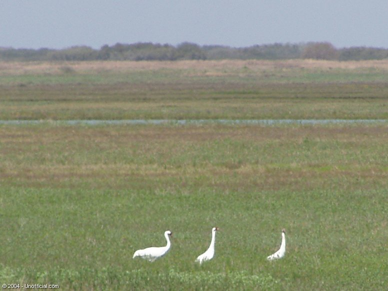 Whooping Cranes in Aransas National Wildlife Refuge at St. Charles Bay, near Rockport, Texas
