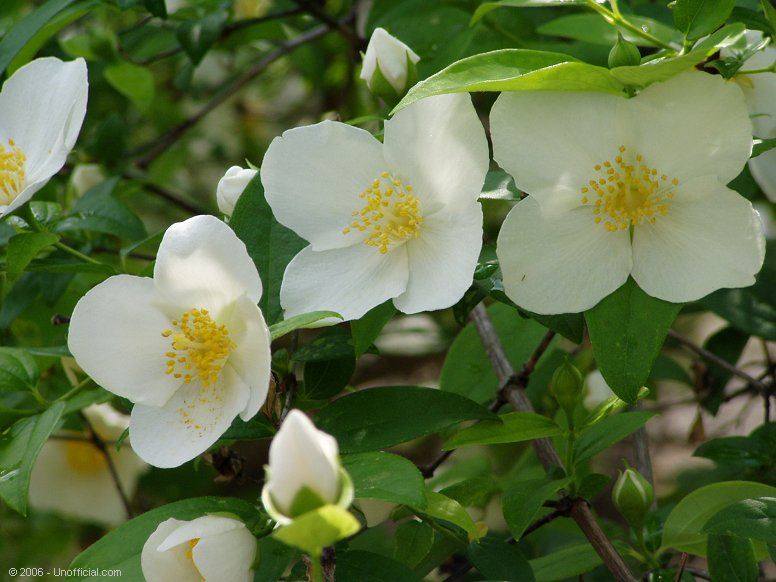 Texas Mock Orange Blossoms in northwest Travis County, Texas