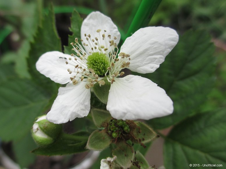 Blackberry Bloom in northwest Travis County, Texas