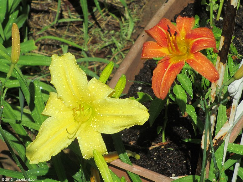Day Lilies in northwest Travis County, Texas