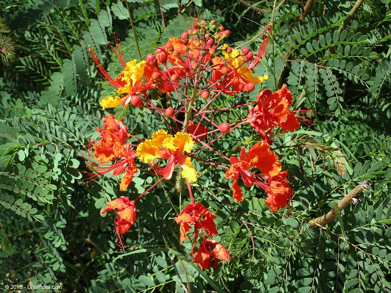 Pride of Barbados plant at Lakeway, Lake Travis, Texas