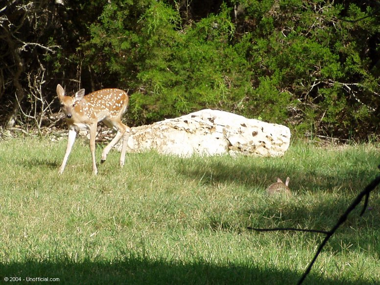 Bambi and Thumper in northwest Travis County, Texas