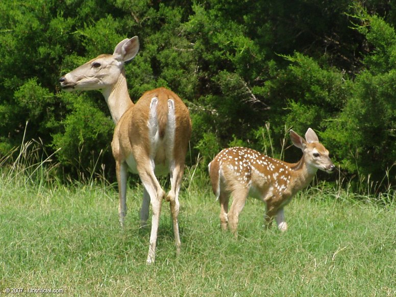 Mom and Fawn in northwest Travis County, Texas