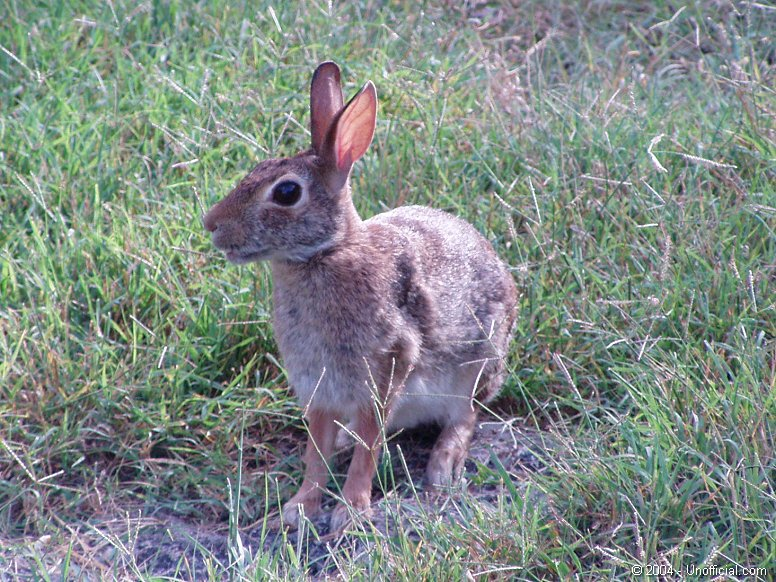 Cottontail in northwest Travis County, Texas