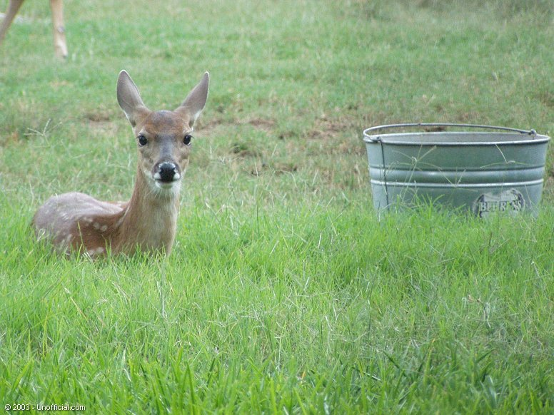 Fawn in northwest Travis County, Texas