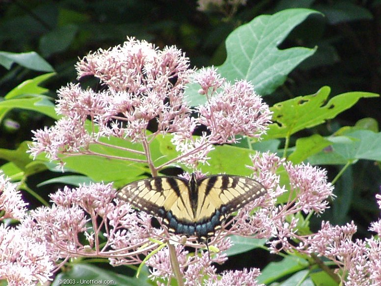 Butterfly in Joe Pye bush in Kanawha County, West Virginia