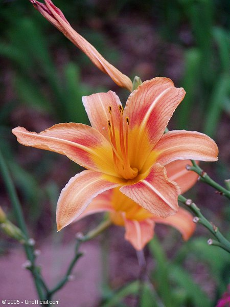 Day lily in northwest Travis County, Texas