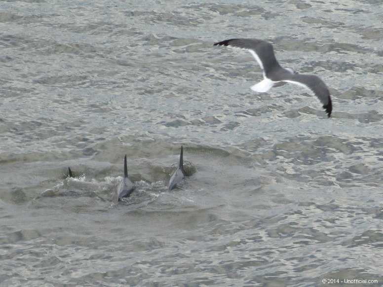 Bottlenose Dolphins in Galveston Bay, Texas