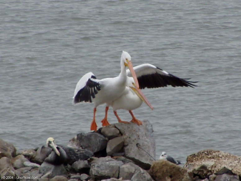 Pelicans at Galveston Bay, Texas