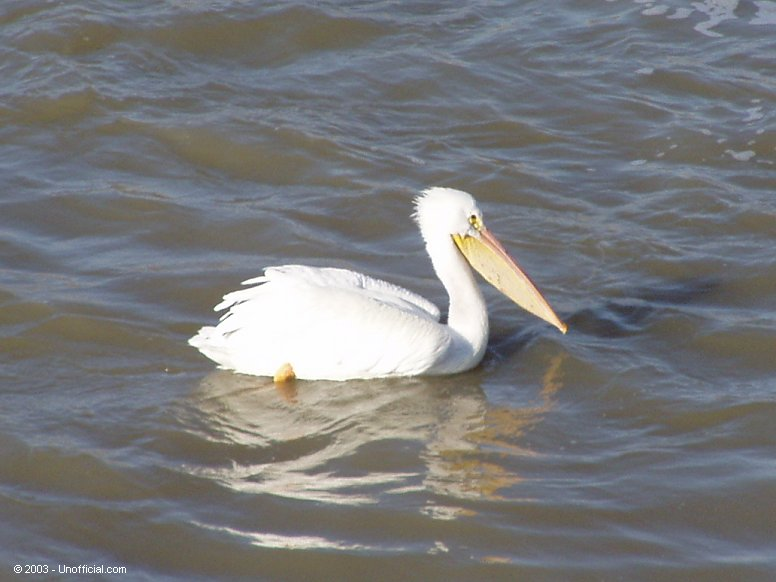 Pelican at Galveston Bay, Texas
